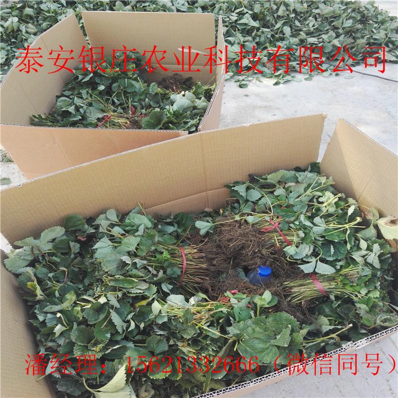 圣诞红草莓苗现挖现卖 常年供应草莓苗