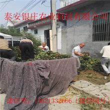 哪里出售草莓种苗草莓种苗图片图片