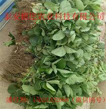 甜查理草莓苗图片泰安草莓苗哪里便宜图片