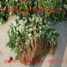 妙香七号草莓苗怎么种常年供应草莓苗图片