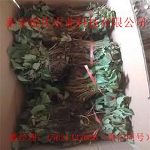草莓种苗红颜章姬四季草莓苗现货供应图片