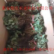 脱毒草苗什么时候种四季草莓苗哪里便宜图片