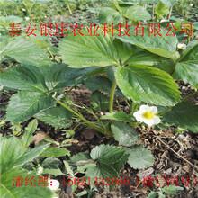 脱毒草苗哪里便宜哪里有草莓苗图片