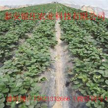 草莓苗哪家好红颜草莓苗价格图片