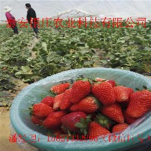 草莓苗、草莓苗新品种、宁玉、丰香、图片