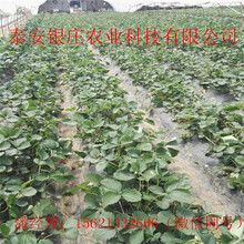 常年供应草莓苗妙香七号草莓苗价格图片