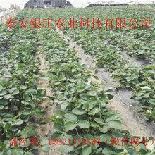草莓苗批发地址在哪儿草莓苗价格图片
