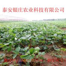 圣诞红草莓苗种植方法牛奶草莓苗供应图片