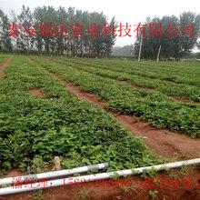 山東妙香七號草莓苗批發草莓苗基地圖片