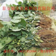 四季草莓苗出售草莓苗基地图片