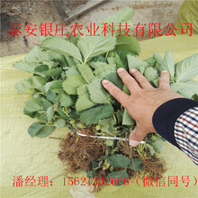 天仙醉草莓苗价格草莓苗哪里便宜图片