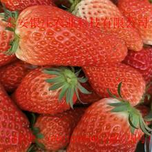 红颜草莓苗什么价格圣诞红草莓苗价格图片