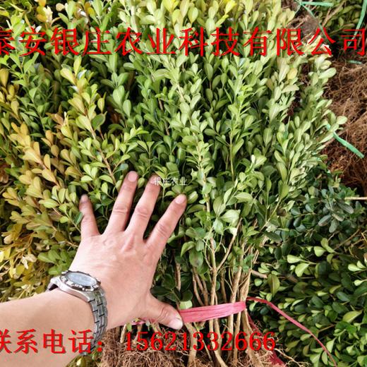 大叶黄杨图