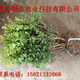 大叶黄杨基地报价大叶黄杨苗价格低产品图