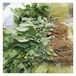 百萬草莓苗批發優惠山東草莓苗培育基地草莓苗品種
