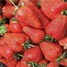 草莓苗種植方法草莓苗批發基地草莓苗管理圖片圖片