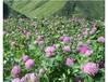 种植真实潮州格桑花种子哪家价格最低
