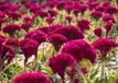 供应真实贵阳太阳花种子最低价格多少