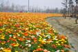 多年生黑麦草种子春季遂宁价格