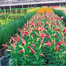 云南昆明的鲜花为什么是称斤卖花道花卉为您解答