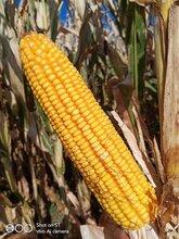 產量高的玉米品種
