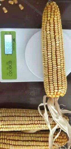 玉米种子产量高