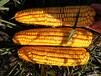 產量高的玉米種子