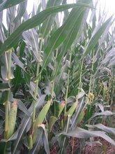 稀植大棒玉米品种铁杆棒王图片