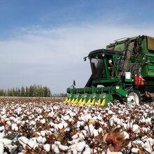 高产棉种新疆高产棉种鲁棉研29图片