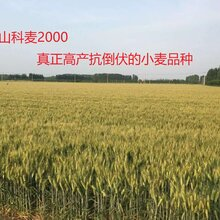 高产抗倒伏小麦种子大穗小麦山科麦2000图片