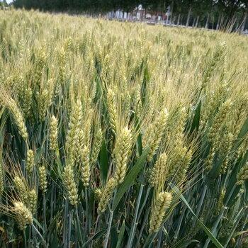 高产小麦新品种高产小麦种子德抗961