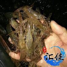 河蝦苗羅氏蝦苗南美白對蝦苗麻蝦苗全國發貨圖片