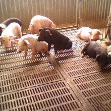 养猪用的轧花网也叫养猪轧花网、母猪产床网