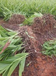 南平创纪农业白芨芽苗林下种植项目厂家直销