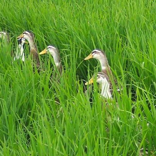 重慶批發稻田鴨苗稻鴨共育全程提供養殖技術