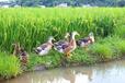 廣州養殖鴨苗批發價鴨苗市場行情生態養殖鴨苗