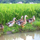 稻田鴨11
