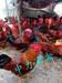 铜仁供应优质,鸡苗,鸭苗,鹅苗,送货上门,技术指导