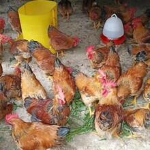 重慶雞苗批發K9肉雞苗供應出殼雞苗價格可散養圖片