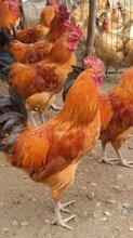 綿竹市散養土雞苗雞苗市場批發價格圖片