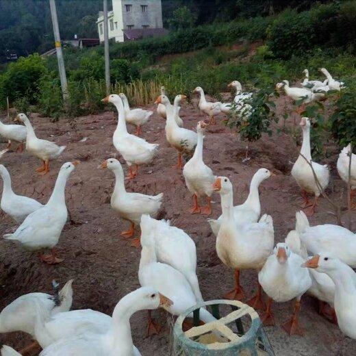 甘孜批发四季白鹅苗脱温白鹅苗鹅苗养殖技术提供