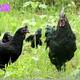 成年黑烏雞