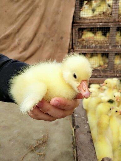 甘孜皖西杂交白鹅苗品质支持先学习再养殖