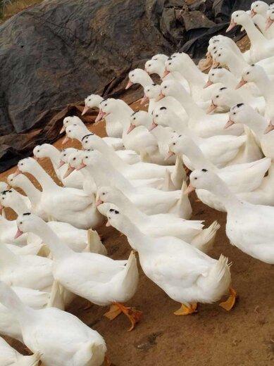 重慶批發大種雜交騾鴨苗養殖前景與效益分析