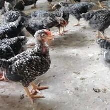 陜西蘆花雞苗價格蘆花雞苗養殖雞苗養殖技術圖片