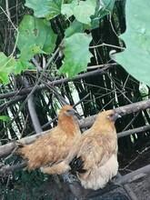 批發淮南王土雞苗紅羽公雞苗脫溫土雞可直接散養圖片
