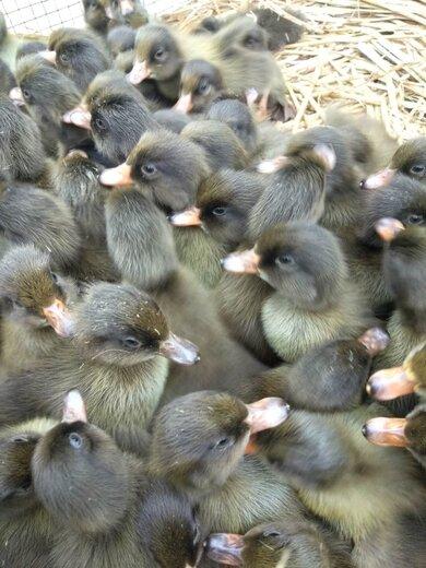 貴州多蛋鴨苗批發鴨苗價格高產多蛋鴨量大優惠