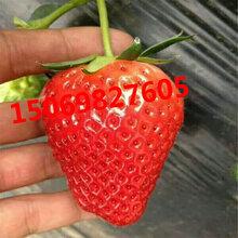 甜宝草莓苗价格红颜草莓苗种植基地甜查理草莓苗保湿发货图片