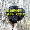 糖尿病友请用桦树茸改善血糖!