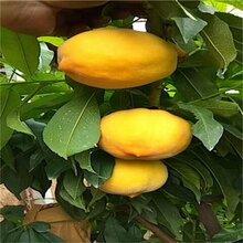 黄金蜜4号桃树如何修剪